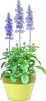 Potted plants of blue salvia
