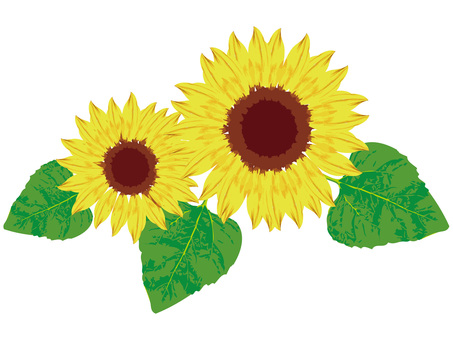 Flower sunflower sunflower sunflower early summer midsummer real picture