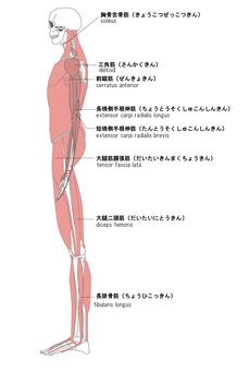 Human body muscle name aspect English
