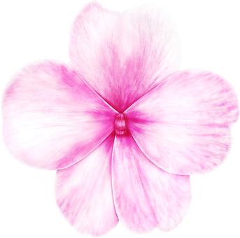 Impatience Flower