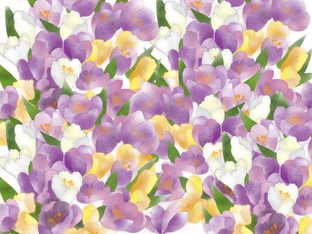 Crocus purple wallpaper