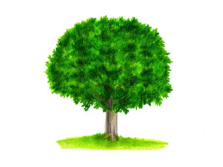 Oak tree (color pencil drawing)