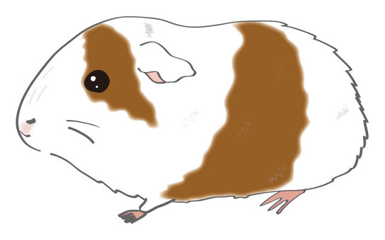 Guinea pig (tea and white)