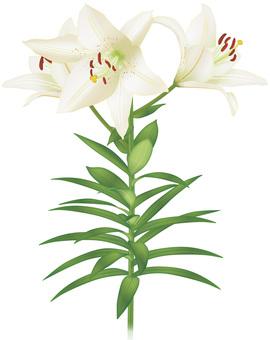 Yuri / White Lily Flower