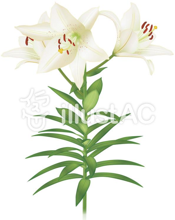 ユリ白い百合の花イラスト No 816071無料イラストならイラストac