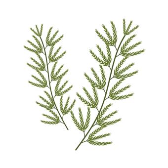 Seaweed (image of Akamoku)