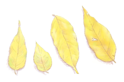 Leaves (yellow leaves)