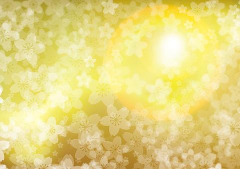 황금 벚꽃 햇살