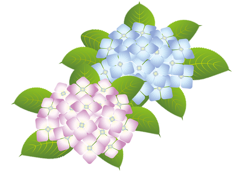 Beautiful hydrangea 6