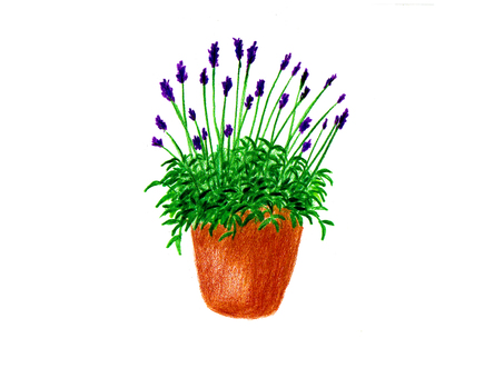 Lavender potted plant (color pencil drawing)