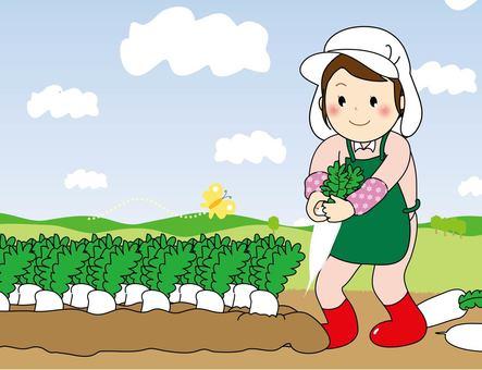 Daikon harvest