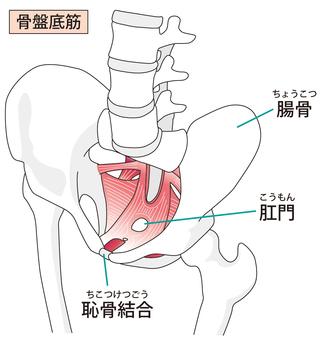 Pelvic floor muscle