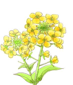 Rape flower 3