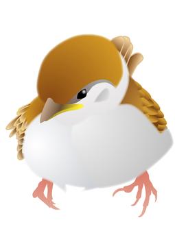 スズメ(巣立ちヒナ)