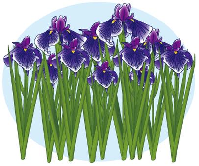 Flower - iris (shoumu) -04