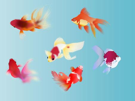 Goldfish 11