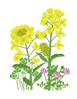 Grass illustration in spring field 01, Rape blossoms Clover