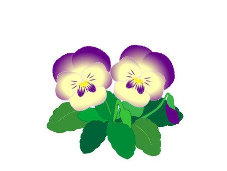 Cream & purple pansy viola