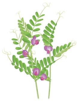 Karasuno pea / familiar flower