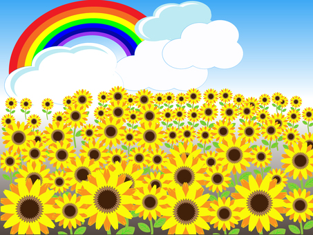 Sunflower field and rainbow