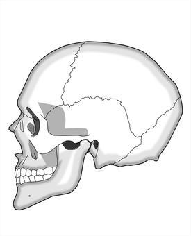 Skull - side head