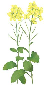 Mustard / familiar flower
