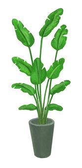 Houseplant Strelitzia Augusta