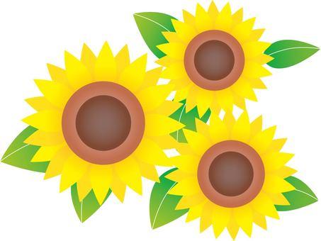 20160701 3 sunflowers