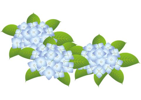 Beautiful hydrangea 7