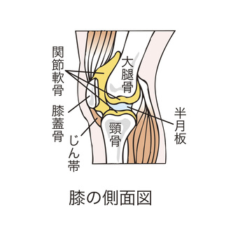 Side view of the knee