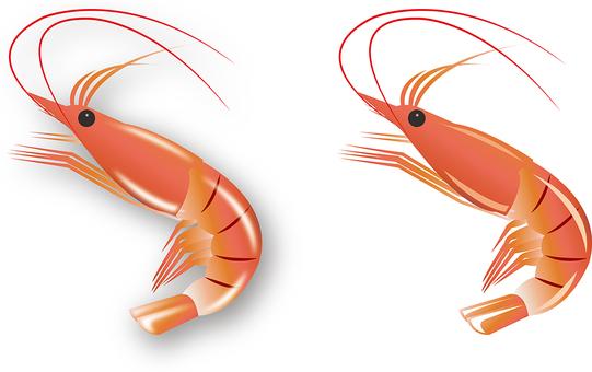 Illustration of red shrimp