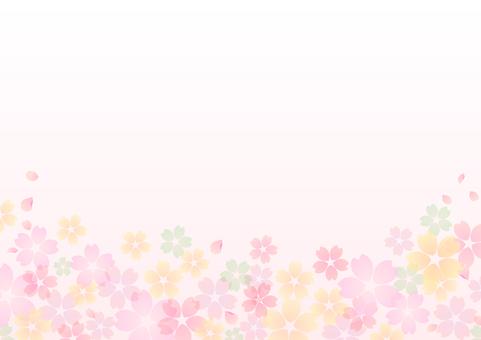 Cherry blossoms 351