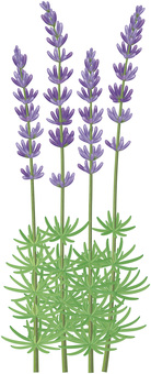 Lavender / 10