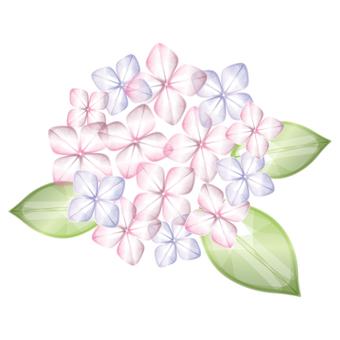Hydrangea [pink]