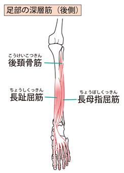 Deep muscle of the feet (rear side)