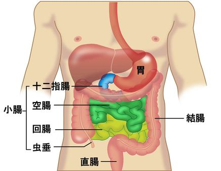 Figure 2 of the digestive tract