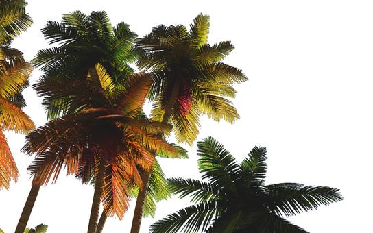 Palm tree 4 (background transparent)