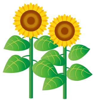 Sunflower illustration 01