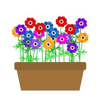 Planting of anemones