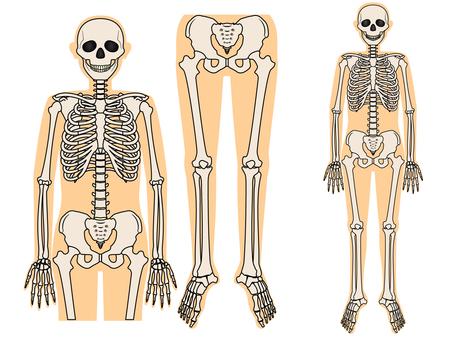 Bone, whole body skeleton 2