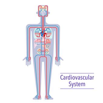 Simple illustration of circulatory system