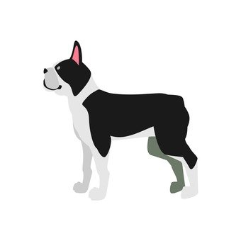 Dog - Boston Terrier