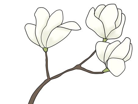 White Manglietia