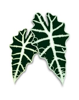 Alocasia Amazonaica