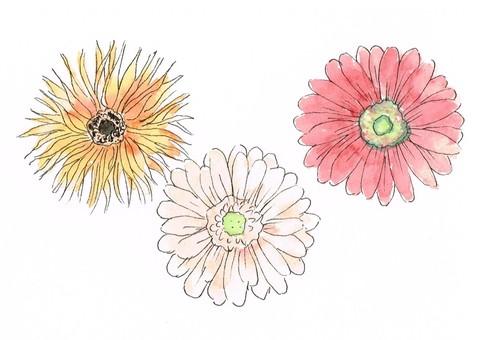 非洲菊水彩