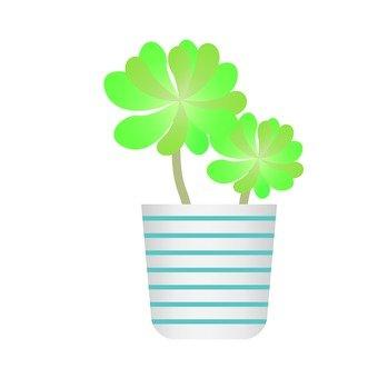 Houseplant - Cotiledon