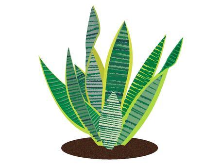 Houseplant Sansuberia