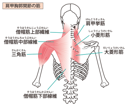 Scapular-thoracic joint muscle
