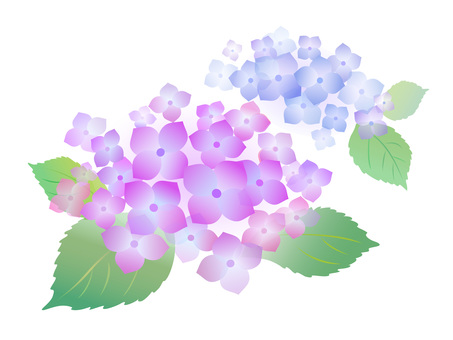 142. Hydrangea, purple