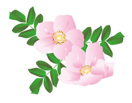 Hamanasu pink